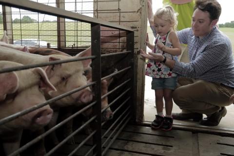 Poor Pigs!